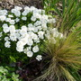 Iberis sempervirens (Candytuft) (Iberis sempervirens (Candytuft))