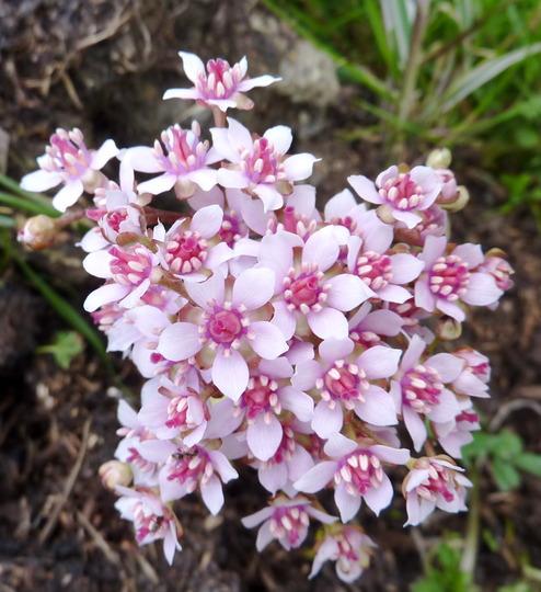 Darmera peltata (Umbrella Plant) (Darmera peltata (Indian Rhubarb))