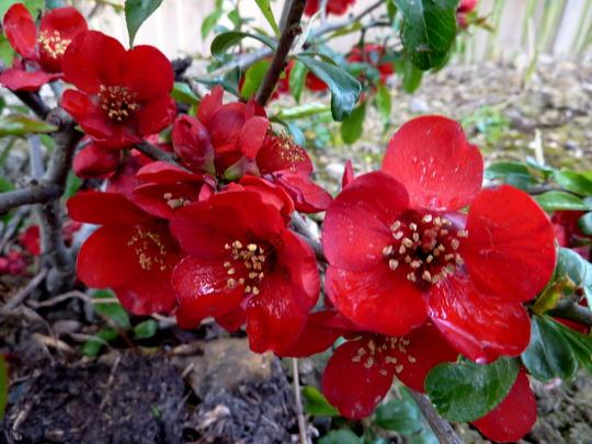 Chaenomeles specios (Chaenomeles speciosa (Flowering quince))