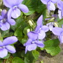 beautiful spring violets growing along side the shed without much soil.