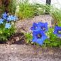 Gentians in flower