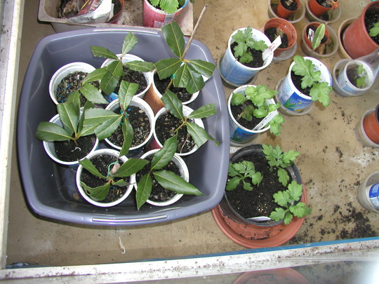 my rooted  bay cuttings,just nine out out of about 30 which survived
