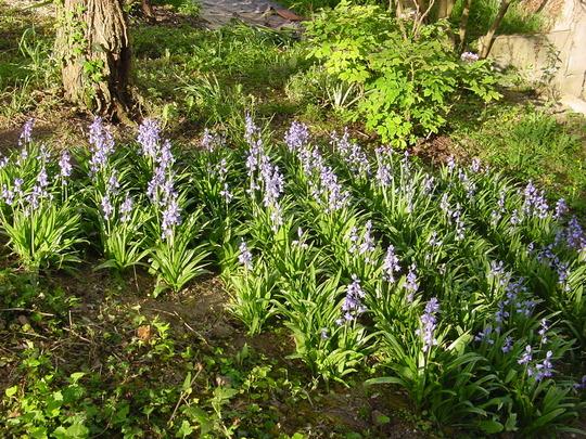 Spanish Bluebells (2) (Hyacinthoides hispanica)