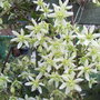 Clematis_x_cartmanii_moonbeam_2010
