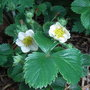 Fragaria chiloensis - 2010 (Fragaria chiloensis)
