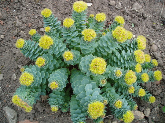 The Accidental Naturopath Rhodiola Rosea and Sports Performance