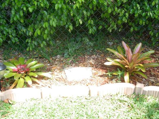 Bromeliad (Nidularium fulgens (Blushing Bromeliad))