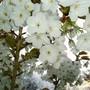My beautiful Tai Haku tree