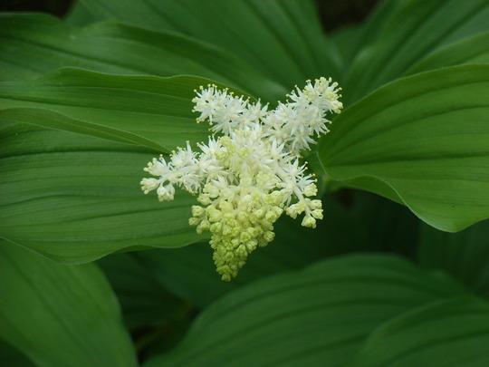 Maianthemum racemosum - 2010 (Maianthemum racemosum)