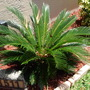 Sago Palm (Sago Palm)
