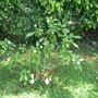 Pinwheel Jasmine (Tabernaemontana)