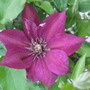 Clematis_picardy_