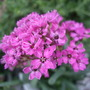 Lychnis alpina 'Lely' (Lychnis alpina)