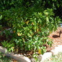 Gardenia jasminoides