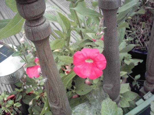 petunia -rose of heaven