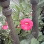 Petunia_rose_of_heaven