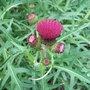 Cirsium rivulare 'Atropurpureum' (Cirsium rivulare 'Atropurpureum')
