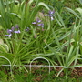 Bluebells by the pond...