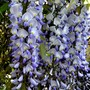 Wisteria floribunda