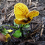 Viola &#x27; Tiger Eye &#x27; from Janette. Thank you .