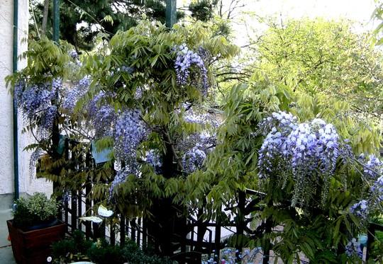 Wisteria on terrace (Wisteria floribunda (Japanese Wisteria))