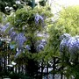 Wisteria on terrace (Wisteria floribunda (Japanese Wisteria))