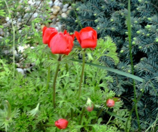Anemones add a bright splash of colour. (Anemone de Caen)
