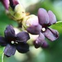 Pittosporum flowers (Pittosporum tenuifolium (New Zealand Pittosporum))