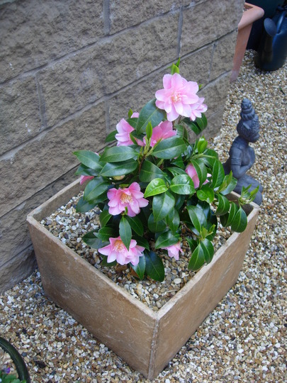 Camellia 'Tiptoe' with lady friend