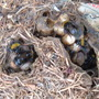 Bumble bees nest in my compost