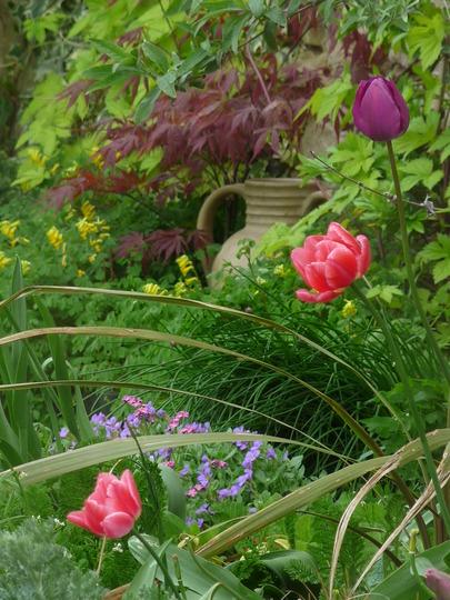 Spring tulips with aubrieta and acer purpurea (Acer)