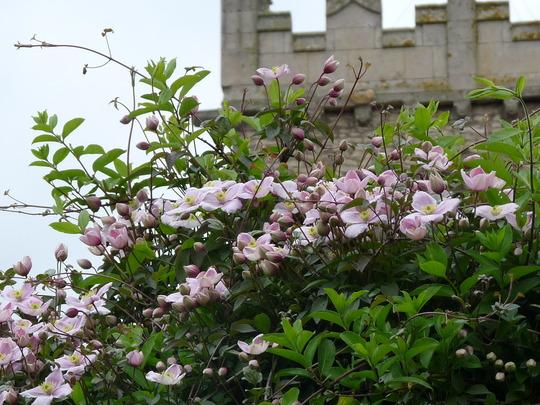 Clematis montana rubens (Clematis montana (Clematis))