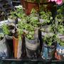Sweet peas in paper pots