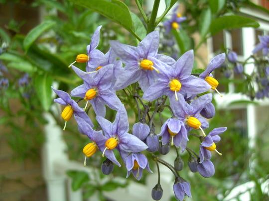 06.05.10 (Solanum crispum 'Glasnevin')