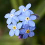 Forget_me_nots
