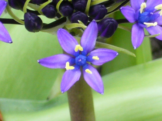 Scilla up close (Scilla peruviana (Cuban Lily))