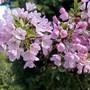 Blossom at Knebworth