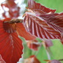 New_copper_beech_leaves