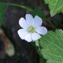 Anemone_thalictroides