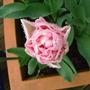 """Tulipa """"Angelique"""""""