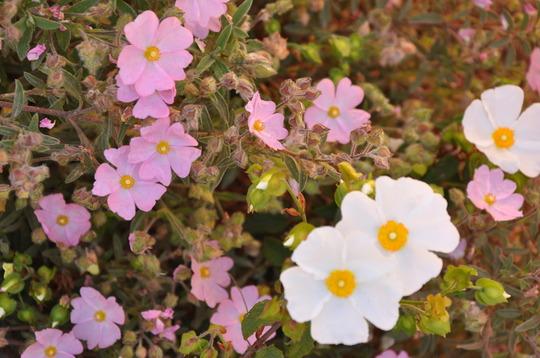 A garden flower photo (Cistus laurifolius)