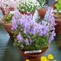 Scutellaria indica japonica