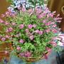 Scutellaria Texas Rose