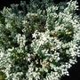 Sedum brevifolium var. quinquefarium