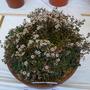 Sedum dasyphyllum ssp mesatlanticum