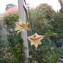 Gladioli_-_Tristis_1_.jpg