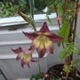 Gladioli - Tristis (Gladiolus tristis)
