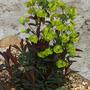 Euphorbia_psd