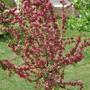 A garden flower photo (Crataegus laevigata (Midland hawthorn))