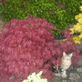 Lily and the acer!